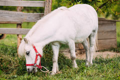 Standing White Pony Is Eating Grass At Countryside Ranch. Nag In Stock Photo