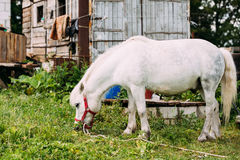 Standing White Pony Is Eating Grass At Countryside Ranch. Nag In Red Bridle Stock Photography