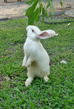 Standing white rabbit Stock Photo