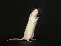 Standing white rat Royalty Free Stock Images