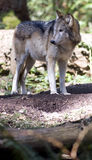 Standing Wolf North American Timberwolf Alone Stock Photography