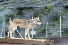 Standing wolf. Royalty Free Stock Photography
