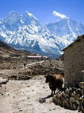 Standing yak, stone barn, snow mountains in himalayas Royalty Free Stock Photo