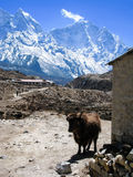 Standing yak, stone barn, snow mountains in himalayas Royalty Free Stock Images