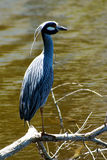 Standing yellow crowned night heron Stock Images