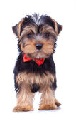 Standing yorkshire puppy with red bow Stock Photos