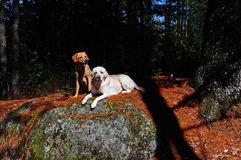 Standing by you. A pair of labs rest on a rock enjoying the warm sun shining on their coats with the shade near by as the younger one sits, the older one lays Royalty Free Stock Images