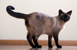Standing young adult siamese cat Royalty Free Stock Images