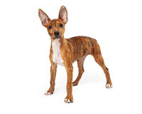Standing young Australian Cattle Dog mix Stock Image
