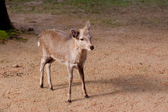 Standing young deer Royalty Free Stock Images