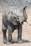 Standing young elephant calf with raised trunk royalty free stock images