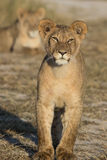 Standing young lion. Young lion standing in the dry grassland of Khutse Game Reserve, Botswana, Africa royalty free stock image