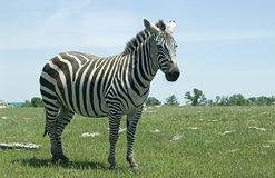 Standing zebra. Zebra standing on open plain stock photography