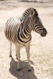 Standing Zebra Stock Photos