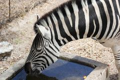 Standing Zebra drinking water Royalty Free Stock Images
