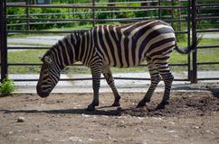 Standing zebra Royalty Free Stock Photos