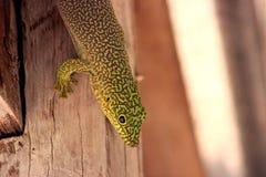 Standingi debout de Phelsuma de gecko de jour du ` s photo libre de droits