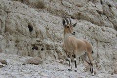 Standingon de bouquetin une falaise dans le gedi d'Ein, Israël Image stock