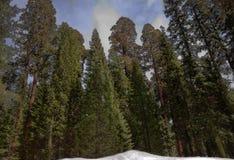 Stando fra le sequoie Immagine Stock