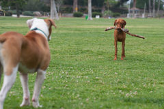 Standoff across the grass Royalty Free Stock Photography