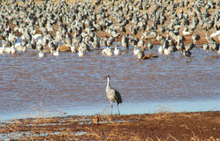 A Standout Sandhill Crane. A solitary male sandhill crane stands before a huge flock of other cranes and snow geese Royalty Free Stock Photography