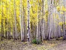 Standplatz der Kolorado-Espen Stockbild
