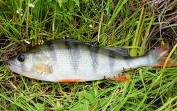 Stange auf dem grünen Gras Stange - Frischwasserfisch Bass-Flussfische Lizenzfreies Stockbild