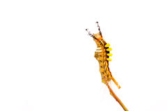 Stange caterpillar Royalty Free Stock Photography