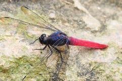 Libelle (allgemeines rotes Abstreicheisen) Stockbilder