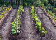 Stangen und Wege ausgedehnt zwischen sie im Garten mit jungen Gurken stockfotos
