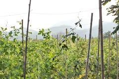 Stangenbohnen durch die Lieferung einer Wicklung auf Drahtseil pflanzen Lizenzfreie Stockfotos