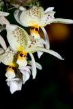 Stanhopea en la plena floración fotografía de archivo libre de regalías