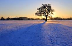 Staning Eiche im Snowy-Sonnenuntergang Stockfotografie