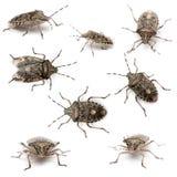 stank för rhaphigaster för felsammansättning europeisk Arkivfoton