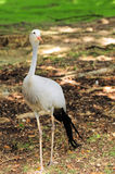 Stanley Crane Bird Royalty Free Stock Photography