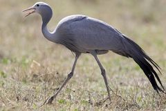 Free Stanley-kraanvogel, Blue Crane, Anthropoides Paradiseus Stock Photos - 129027323
