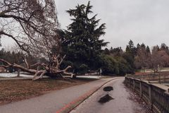Stanley park with big fallen tree in Vancouver, British Columbia Royalty Free Stock Photos