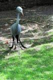 Stanley żuraw w zoo Obraz Royalty Free