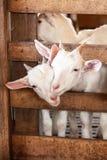 Stannar blidkar vita getter f?r den ?lskv?rda parungen som ler och spelar i tr?, gulligt och, ett lokalt lantbruk i Chiang Mai, T royaltyfri fotografi