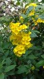 Stans aîné ou de fleur ou de tecoma de trompette jaune Photographie stock libre de droits