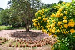 Stans de Tecoma no jardim da cidade em Trivandrum Índia, Kerala imagens de stock