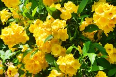 Stans de Tecoma no jardim da cidade em Trivandrum Índia, Kerala fotos de stock royalty free
