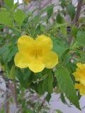 Stans Tecoma или желтый цветок trumpetbush или желтых колоколов Стоковое Фото