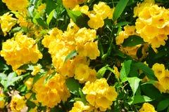 Stans Tecoma в саде города в Trivandrum E стоковые фотографии rf