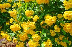 Stans Tecoma в саде города в Trivandrum E стоковое изображение