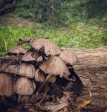 Stansbury-Pilze lizenzfreie stockfotos
