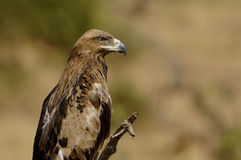 Stap Eagle stock afbeeldingen
