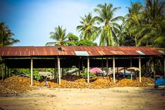 Stapel der Kokosnüsse im Bauernhof für Kokosnussöl Lizenzfreie Stockfotografie
