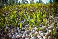 Stapel der Kokosnüsse im Bauernhof für Kokosnussöl Stockbild