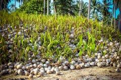 Stapel der Kokosnüsse im Bauernhof für Kokosnussöl Stockfotos